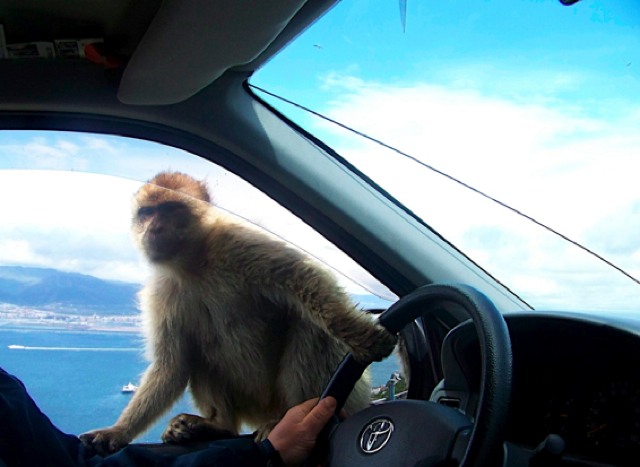 When A Monkey Got Killed By A Hit-And-Run Taxi, His Friends Sought Vengeance Against ALL Taxis