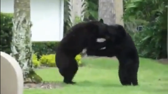 Ever Watch A Pair Of Black Bears Fight On Your Neighbor's Lawn?