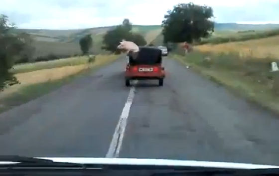 Watch A Huge Pig Jump Out Of A Moving Vehicle