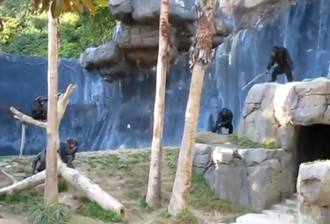 So, There&#8217;s A Fantastic Chimp Brawl On World Star Hip Hop